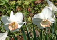 Narcissus ×incomparabilis Mill. ′Mrs. R.O.Backhouse′