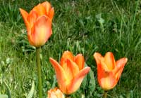 Tulipa fosteriana W. Irving 'Orange Emperor'