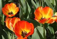 Tulipa 'American Dream'