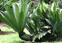 Cycas armstrongii Miq.  - in Java