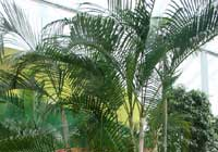 Dypsis lutescens (H. Wendl.) Beentje & J. Dransf.