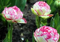 Tulipa 'Double Touch'
