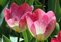 Tulipa 'Flaming Spring Green'