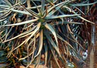 Aloe dichotoma Masson