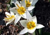 Tulipa turkestanica Regel