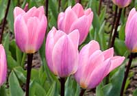 Tulipa 'Light and Dreamy'