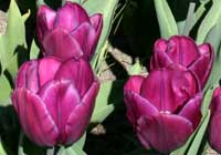 Tulipa ′Purple Flag′