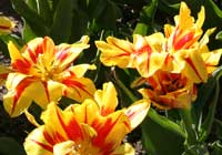 Tulipa ′Monsella′