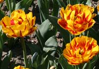 Tulipa 'Golden Nizza'