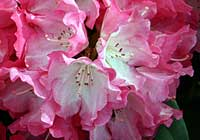 Rhododendron spec.