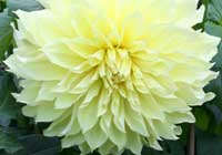 Dahlia 'Kelvin Floodlight' - Schmuckdahlie