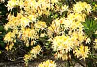 Rhododendron vaseyi A. Gray