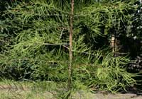Taxodium distichum var. imbricatum (Nutt.) Croom