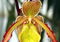 Phragmipedium 'Apprentice'