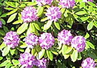 Rhododendron-Hybride
