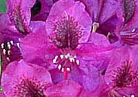 Rhododendron 'Olin O.Dobbs'