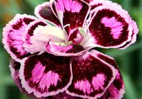 Dianthus 'Tropic Butterfly'