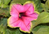 Petunia 'Picasso in Pink'