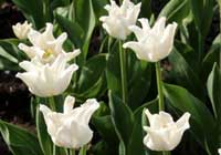 Tulipa 'Witty Picture'