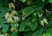 Lonicera xylosteum L.