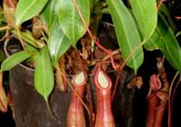 Nepenthes ×intermedia H.J.Veitch