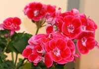 Pelargonium ×hortorum L. H. Bailey 'Hot Spot Kiss'