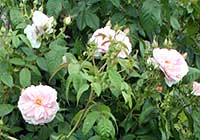 Rosa ′Kir Royal′