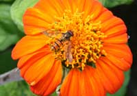 Tithonia rotundifolia (Mill.) S.F. Blake