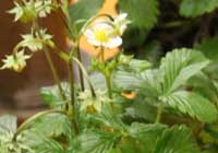 Fragaria vesca L. 'Fontaine'