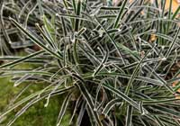 Ficinia truncata (Thunb.) Schrad. 'Ice Crystal'
