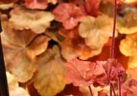 Heuchera-Hybride 'Timeless Orange'