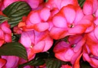 Impatiens ′Fancy′ - Neuguinea-Hybride
