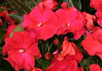 Impatiens ′Cherry Red′ - Neuguinea-Hybride