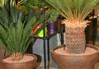 Cycas revoluta Thunb. - in Hydrokultur