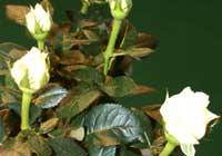 Rosa ′Norwegian Snowball′