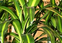 Dracaena fragrans (L.) Ker Gawl. 'Hawaiian Sunshine'