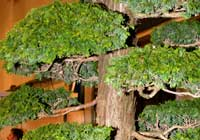 Juniperus chinensis L.