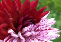 Dahlia ′Blackberry Ripple′ - Kaktusdahlie