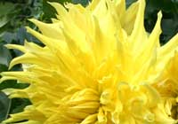 Dahlia ′Yellow Sunburst′ - Schmuckdahlie