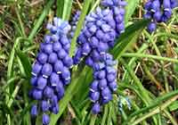 Muscari botryoides Mill.