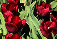 Tulipa 'Jan Reuss'