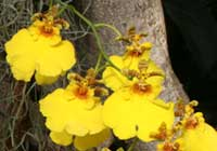 Oncidium-Hybride 'Sweet Sugar'