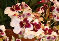Miltoniopsis ′Lovely Patty′