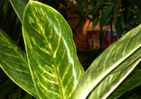 Aglaonema Schott ′King of Siam′