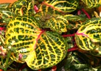Iresine herbstii Hook. ′Variegated Heart′