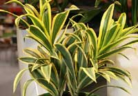 Dracaena reflexa Lam. 'Song of India'