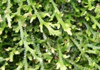 Selaginella serpens (Desv.) Spring