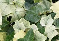 Hedera helix L. ′Sally′