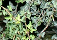 Hedera helix L. ′Spetchley′