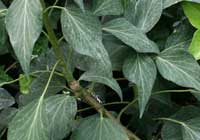 Hedera helix ′Old Lace′